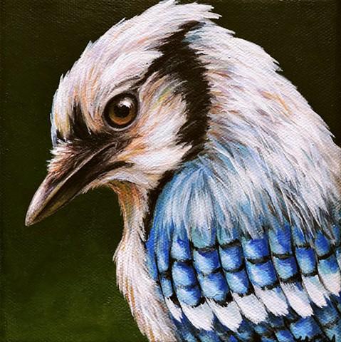 Blue Jay portrait #6