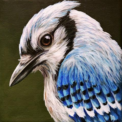Blue Jay portrait #4