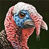 Wild Turkey portrait