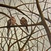 Two Mourning Doves (step 5/ finished)