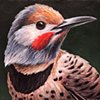 Red-Shafted Flicker portrait