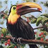 Yellow-billed Toucan