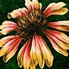 Blanket Flower #3