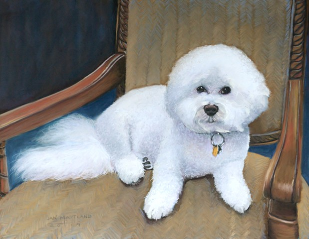 Bichon Frise dog portrait in pastel by jan maitland oregon artist, pastel artist, white dog, bichon frise breed