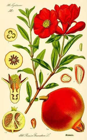 Punica Granatum