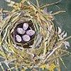 Jankowski's Bunting Nest