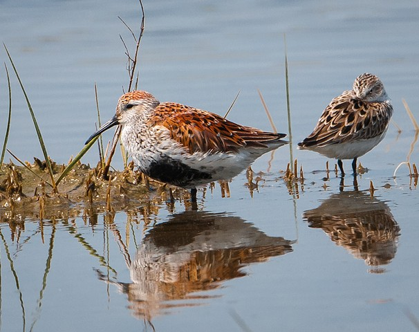 Dunlin with wary sandpiper