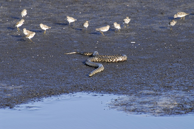 Bull Snake with some nervous sandpipers