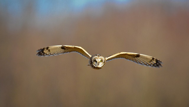 Short-eared Owl by Joe Costanza at Pole Farm