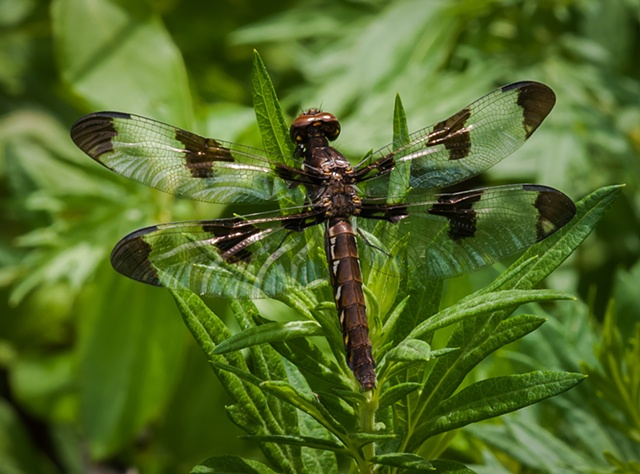 Twelve-spotted Skimmer, female
