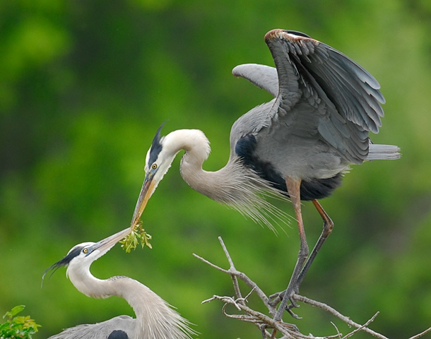 Great Blue Heron Romance
