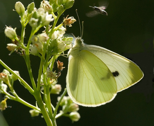 Cabbage White and friend