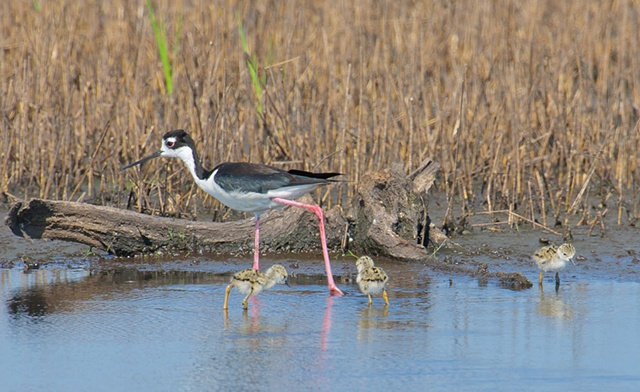 Black-necked Stilt with chicks