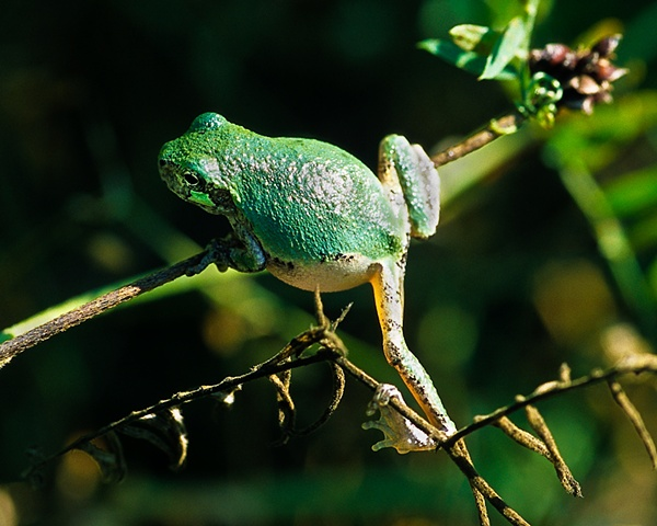 Gray Tree Frog, green variety
