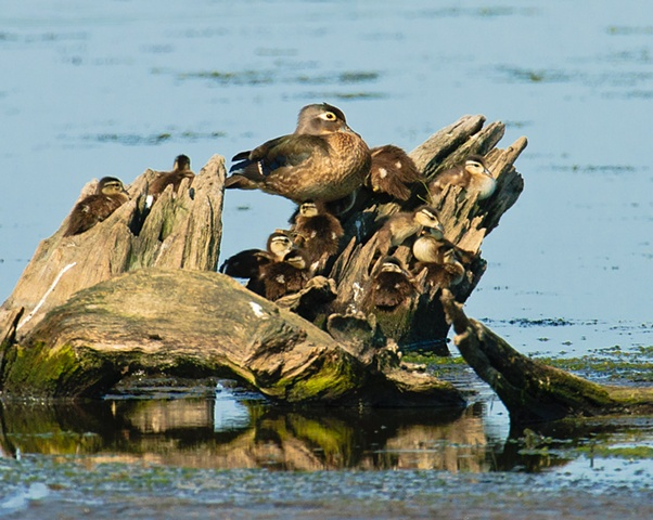 Wood Duck and brood