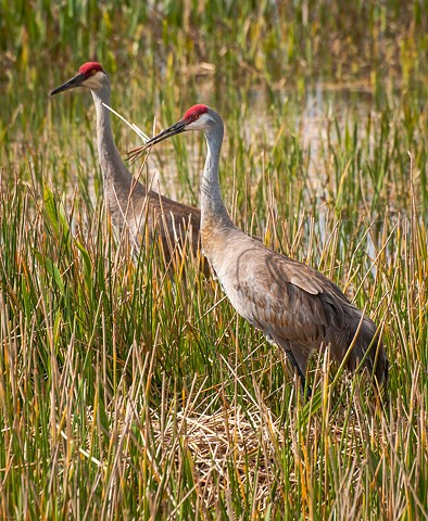 Male and Female Sandhill Cranes in the process of nest-building
