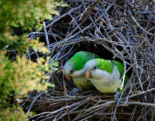 Nesting Monk Parakeets