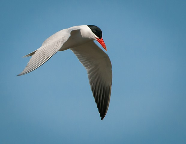 Caspian Tern by Joe Costanza at Forsythe NWR