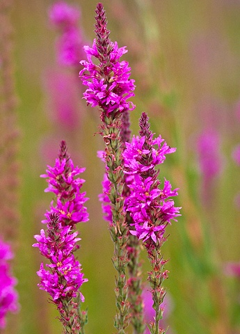 Purple Loosestrife Beautiful flower but very invasive