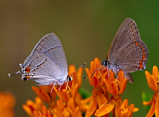 Gray Hairstreak and Coral Hairsteak on Orange Milkweed