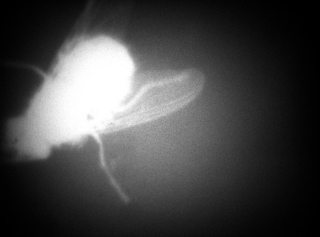 Buzzzzzzzzzzzzzzzz  Oliver Bancroft & Will Hanke, 2014 16mm b & w, digital sound 100'
