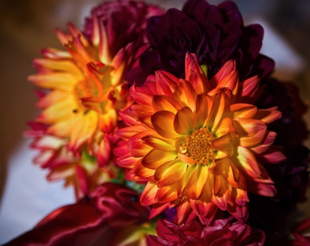 Jeff Roffman Photography Dahlia Bridal Bouquet Red, Burgundy, and Orange-Bicolor dahlias wrapped with a rust colored satin ribbon.