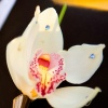 Jeweled Cymbidium Orchid Boutonniere