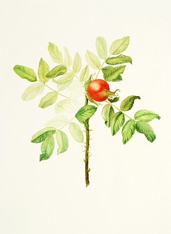 watercolor on paper/ rose hips