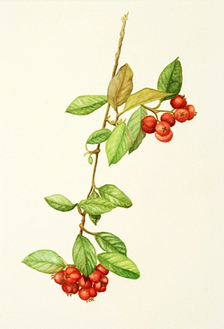 watercolor on paper/ red Spanish berries