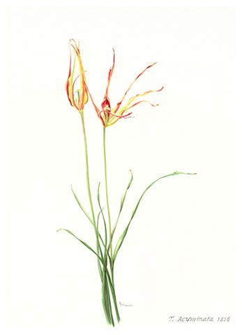 watercolor on paper/ Acuminata broken tulip
