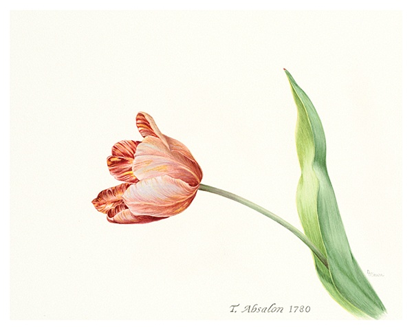 Limited edition Giclee prints/ T. Absalon 1780, broken tulip