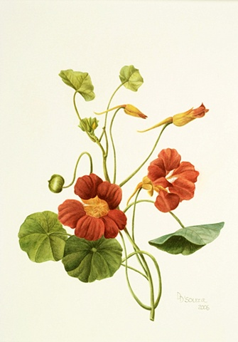 watercolor on paper/ orange nasturtium flowers/ Peirre-Joseph Redoute