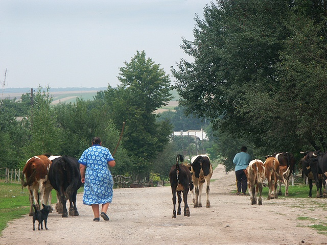 Taking the cows to the pasture