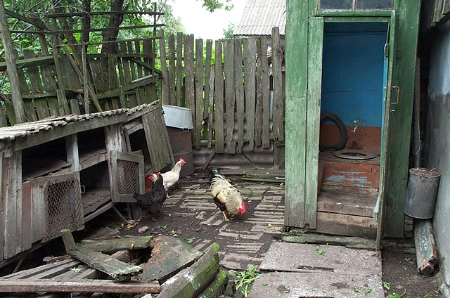 Outhouse with chickens
