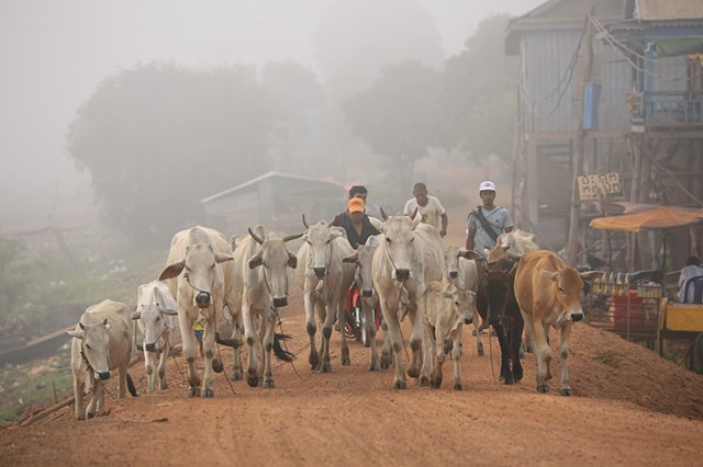 Herding cows in the morning mist