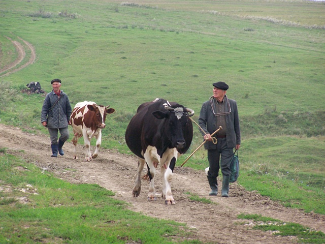 Bringing home the cows