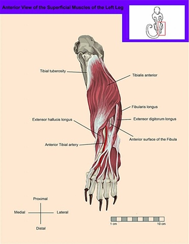 Anterior, Superficial View of the Leg