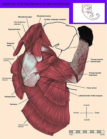 Lateral, Deep View of the Muscles of the Back and Shoulder