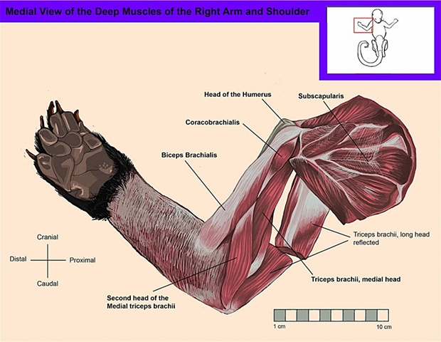 Medial View of the Deep Muscles of the Right Arm and Shoulder