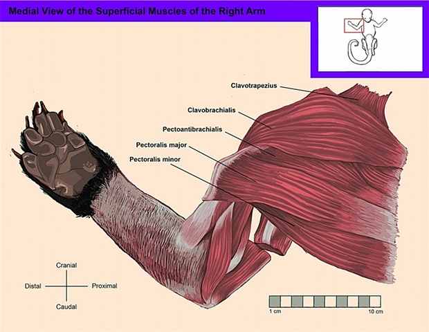 Medial View of the Superficial Muscles of the Right Arm and Shoulder