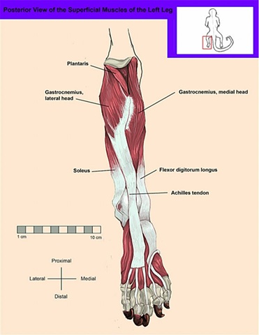 Posterior View of the Superficial Muscles of the Leg