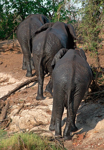 Bringing Up the Rear Elephants in Chobe Park Botswana