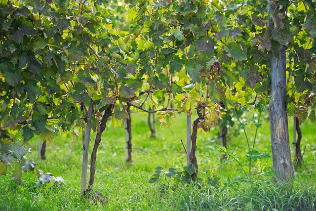 Photo of Tuscan Grapevines with green grass