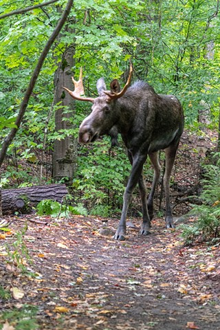 Young Bull Moose on the trail in Algonquin Park Ontario