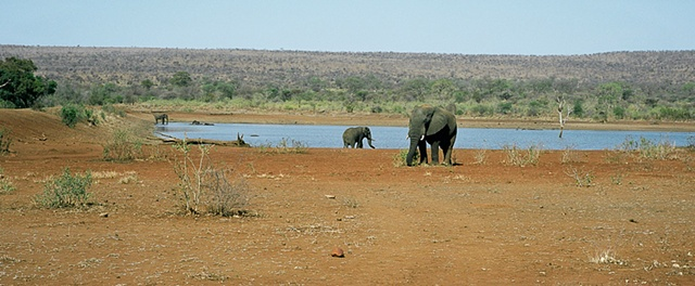 Elephants at the Waterhole Panorama in Krueger Park South Africa