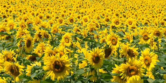 Sunflower Field  2 Special Order