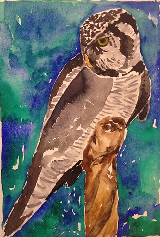 George (Northern Hawk Owl)