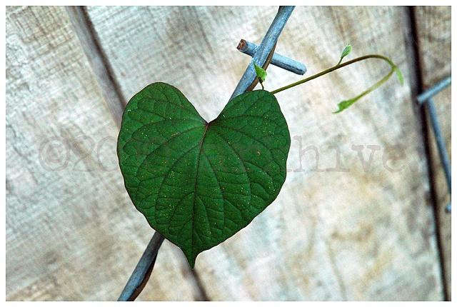 'heart shaped leaf'  (in memory of Kip)