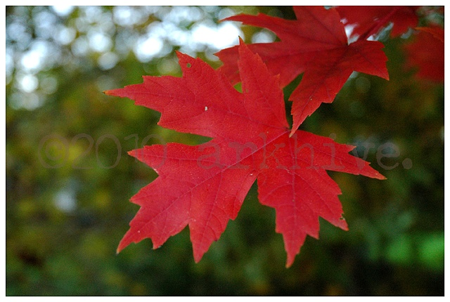 red maple I