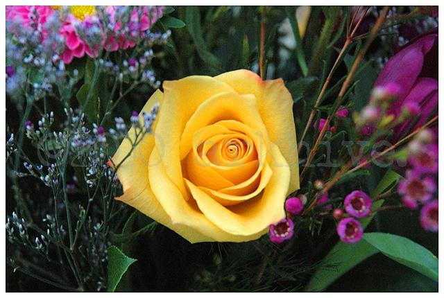 'yellow rose I'